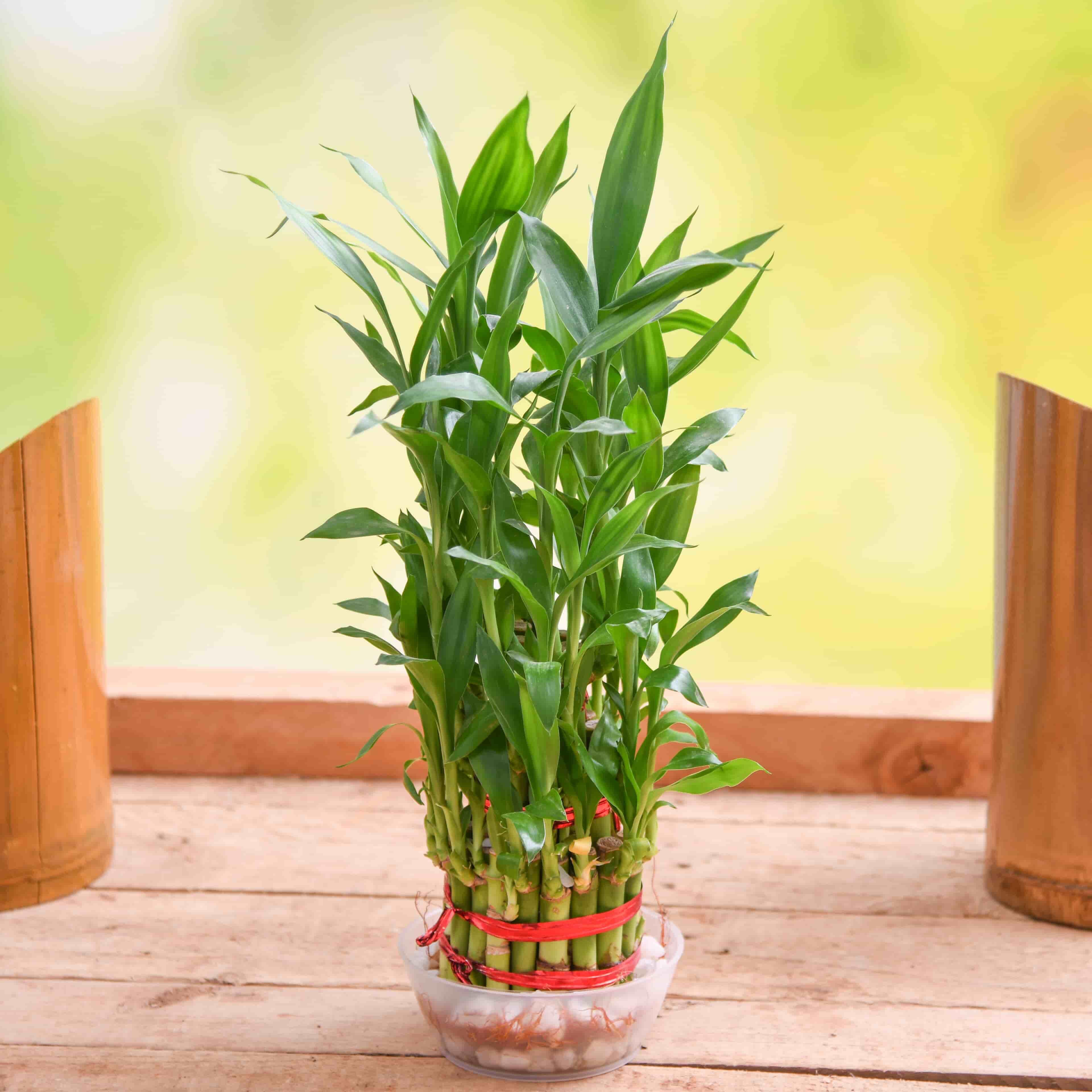 Sansevieria Plant Feng Shui tune o brick